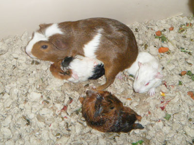 how to tell guinea pig gender